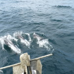 Dolphins Riding the Bow
